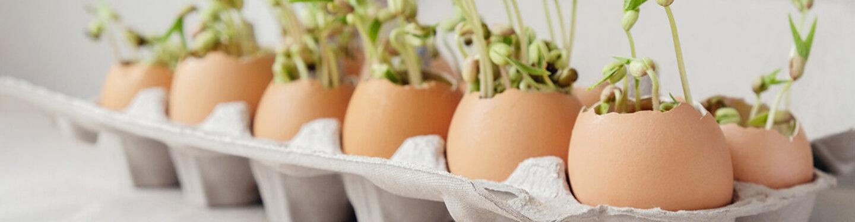 Beim Gemüseanbau kann die Anzucht in Eierschalen gedeihen.