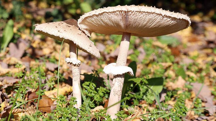 Zwei Pilze im Laub.