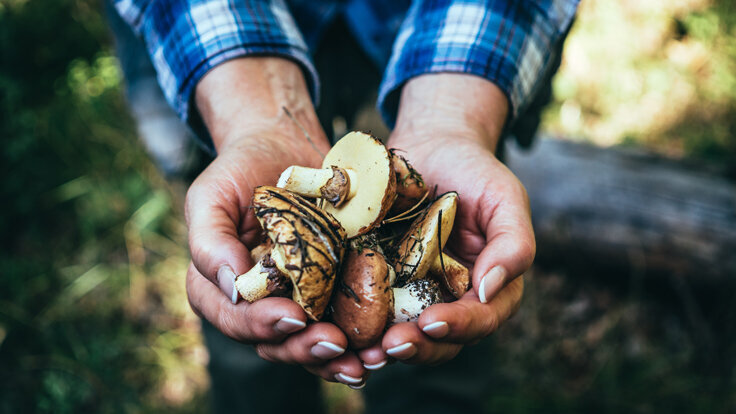 Ein Mann hält im Wald gesammelte Pilze in den Händen.