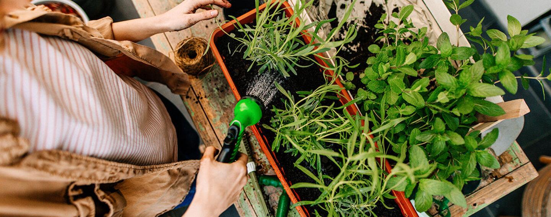 Frau gießt ihre selbst angepflanztes Gemüse und Obst.