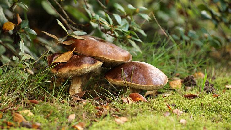 Drei Pilze unter einer Hecke.