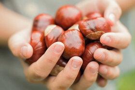 Zwei Hände halten Kastanien ohne Schale